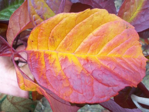 Purple Spire Ash-leaf changing from purple to orange