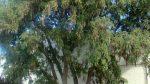 Sophora tetraptera – Kowhai –Copy